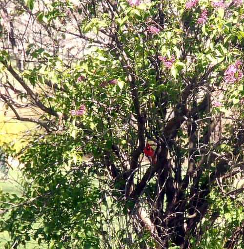Lilac_tree_2